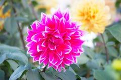 Dahlia dans le jardin Image libre de droits