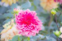 Dahlia dans le jardin Photographie stock