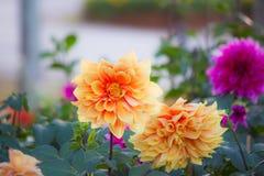 Dahlia dans le jardin Images stock