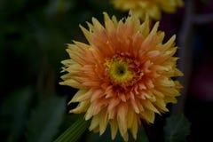 Dahlia dans le jardin au coucher du soleil Image stock
