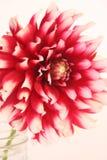 Dahlia dans le pot Photographie stock