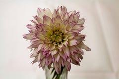 Dahlia dans un vase Photographie stock