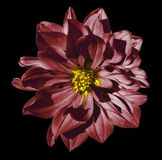 Dahlia dark red flower  on an isolated black background with clipping path. Closeup. No shadows. Stock Photography