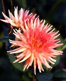 Dahlia de cactus Images stock