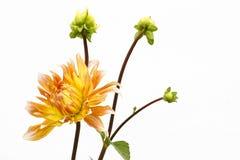Dahlia de couleur jaune-rouge avec des bourgeons sur le fond blanc Photo stock