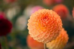 Dahlia de couleur orange rond vibrant image stock