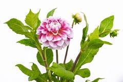 Dahlia de couleurs roses et blanches avec des bourgeons sur le fond blanc Photo libre de droits