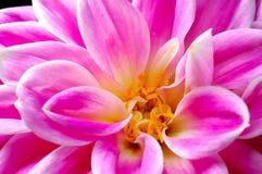 Dahlia de fleur images stock