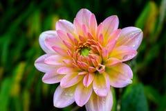Dahlia de floraison en automne Images stock