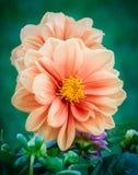 Dahlia de jardin Photographie stock