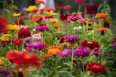 Dahlia de jardin Images libres de droits