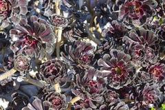 Dahlia de noir de Bourgogne Photographie stock libre de droits