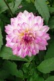 Dahlia de Rose Photographie stock