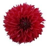 Dahlia de rouge de fleur Fond d'isolement par blanc avec le chemin de coupure closeup Aucune ombres Pour la conception Photos stock