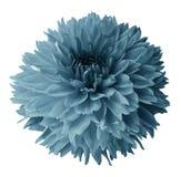Dahlia de turquoise Fleurissez sur un fond d'isolement par blanc avec le chemin de coupure Pour la conception closeup Image stock
