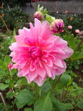 Dahlia. The dhalia flower expresses sentiments of dignity and elegance Stock Images