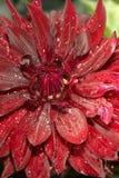 Dahlia efter regn Fotografering för Bildbyråer