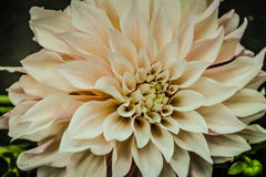 Close Up Dahlia Bloom Peach. Cafe au lait dahlia close up and muted peach or white colored stock photography
