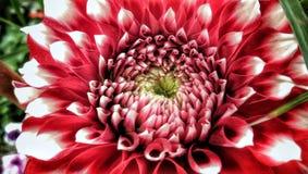 Dahlia för blommamakro för parbladig dahlia växande foto arkivfoton
