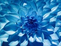 Dahlia för makroblommablått Bakgrund från en blomma closeup arkivbilder