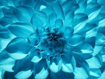 Dahlia för makroblommaturkos Bakgrund från en blomma closeup royaltyfri bild