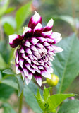 Dahlia. In fall garden. Beautiful of Purple  flower blossom in the park Royalty Free Stock Photos