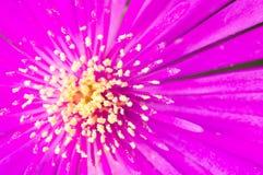 Dahlia 'Fascination' close-up. Close-up of pink dahlia flower Stock Photo