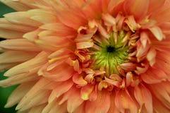 Dahlia fire flower Stock Image