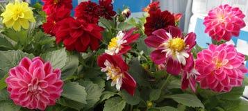 dahlia Fleurs colorées de dahlia Fermez-vous vers le haut de la vue du dahlia Modèle floral, fond de fleurs photographie stock