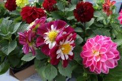 dahlia Fleurs colorées de dahlia Fermez-vous vers le haut de la vue du dahlia Modèle floral, fond de fleurs image stock