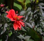 Dahlia With floreciente roja un fondo verde oscuro Foto de archivo