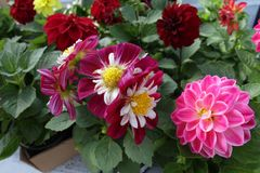 dahlia Flores coloridas da dália Feche acima da opinião a dália Teste padrão floral, fundo das flores imagem de stock