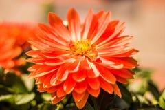 Dahlia Flower stockfoto
