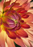 Dahlia flower. Colorful dahlia flower in the garden Stock Images