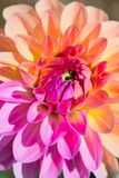 Dahlia Flower stockbilder