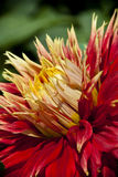 Dahlia flower. Close up macro Royalty Free Stock Image