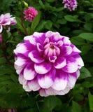 Dahlia Flower photos libres de droits