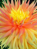 Dahlia flower. Closeup of yellow dahlia flower in summer Stock Photo
