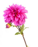 Dahlia flower. Alone pink dahlia flower, on white background stock photo