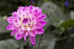 Dahlia flower Royalty Free Stock Photo
