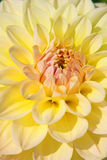 Dahlia flower. Colorful dahlia flower with morning dew drops Stock Image