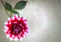 Dahlia flower. On vintage background Stock Images