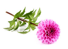 Dahlia flower. On a white background Royalty Free Stock Images