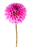 Dahlia flower. On a white background Stock Image