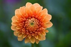 Dahlia Flower lizenzfreie stockfotos