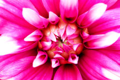 Dahlia flower. A dahlia flower in full bloom, crimson and white showy, rayed petals Stock Photo