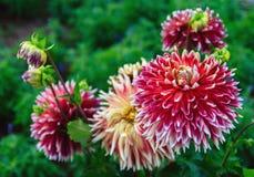 Dahlia Flower Photo stock