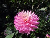 Dahlia Flower Fotografía de archivo