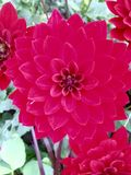 Dahlia Flower Fotos de archivo libres de regalías