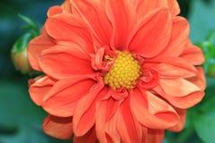 Dahlia Flower Royaltyfria Bilder